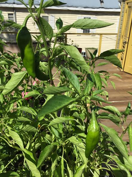 Peppers in the garden