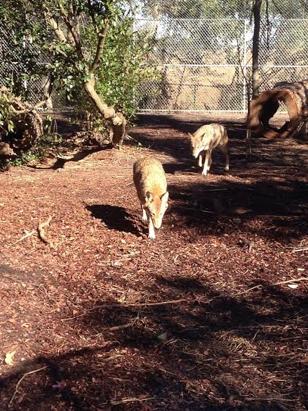Wolves in the zoo - No petting these furry friends