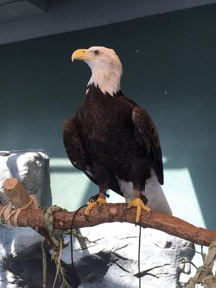 Proud bald eagle loves to pose