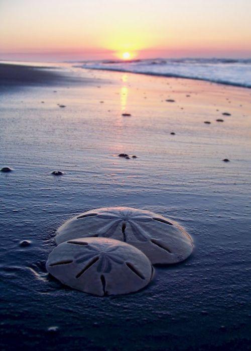 Sand dollars on the beach