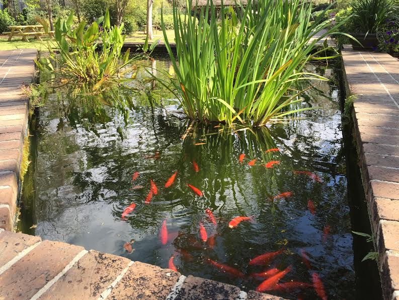 College of charleston koi pond offers an escape from for Koi pond music